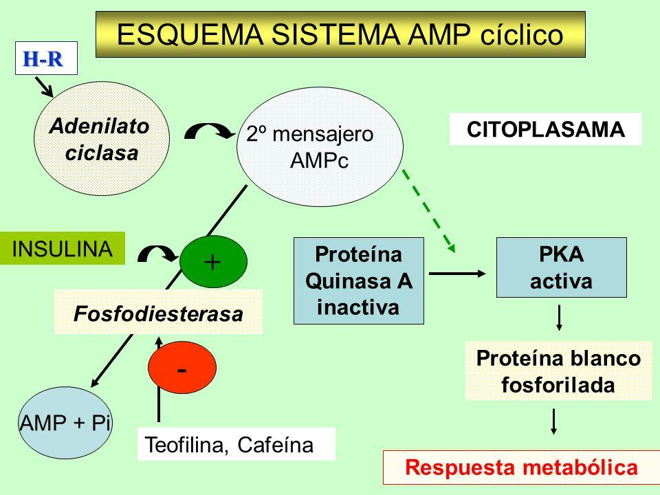 ESQUEMA SISTEMA AMP cíclico