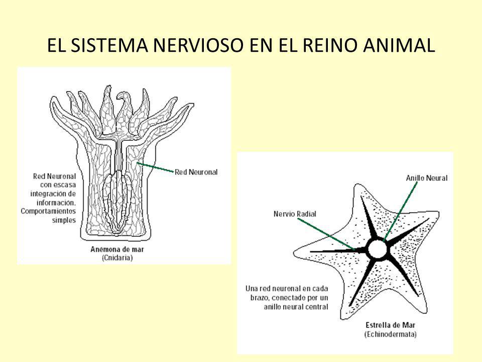 EL SISTEMA NERVIOSO EN EL REINO ANIMAL