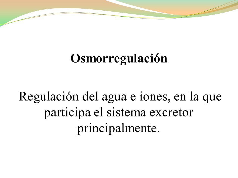 Osmorregulación Regulación del agua e iones, en la que participa el sistema excretor principalmente.
