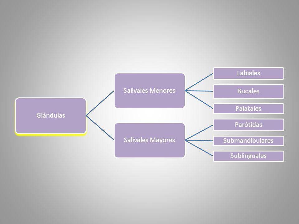 Glándulas Salivales Menores. Labiales. Bucales. Palatales. Salivales Mayores. Parótidas. Submandibulares.