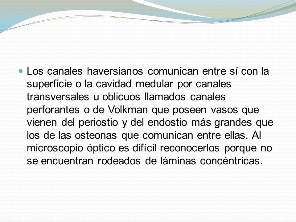 Los canales haversianos comunican entre sí con la superficie o la cavidad medular por canales transversales u oblicuos llamados canales perforantes o de Volkman que poseen vasos que vienen del periostio y del endostio más grandes que los de las osteonas que comunican entre ellas.