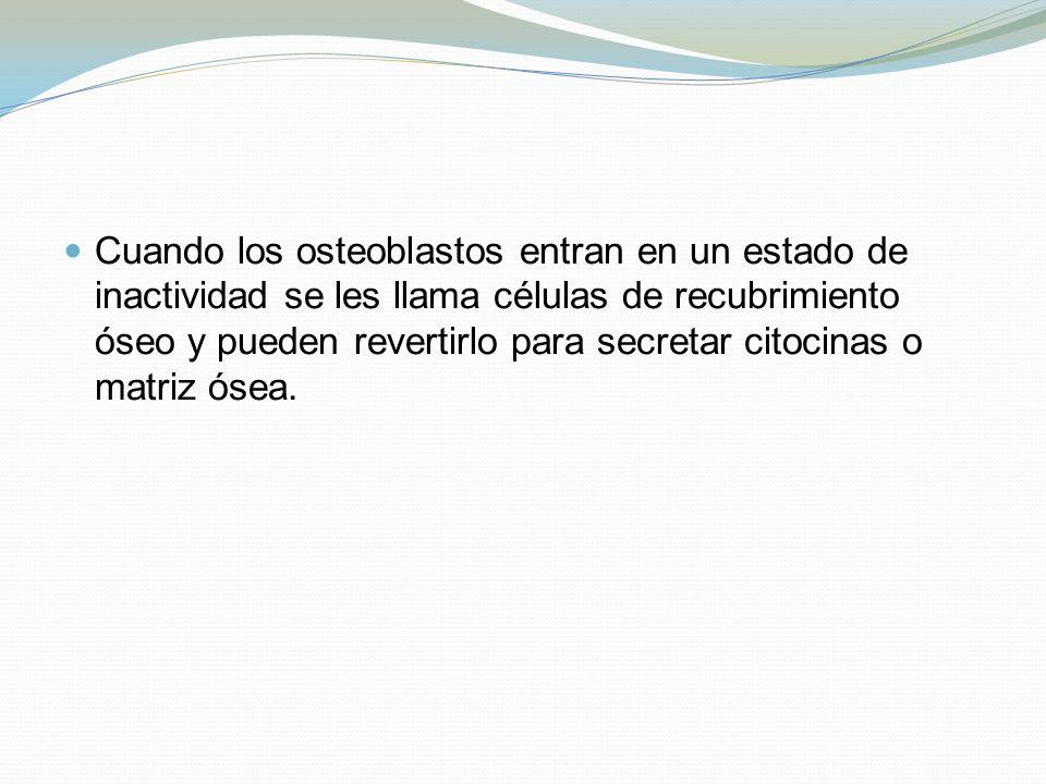 Cuando los osteoblastos entran en un estado de inactividad se les llama células de recubrimiento óseo y pueden revertirlo para secretar citocinas o matriz ósea.