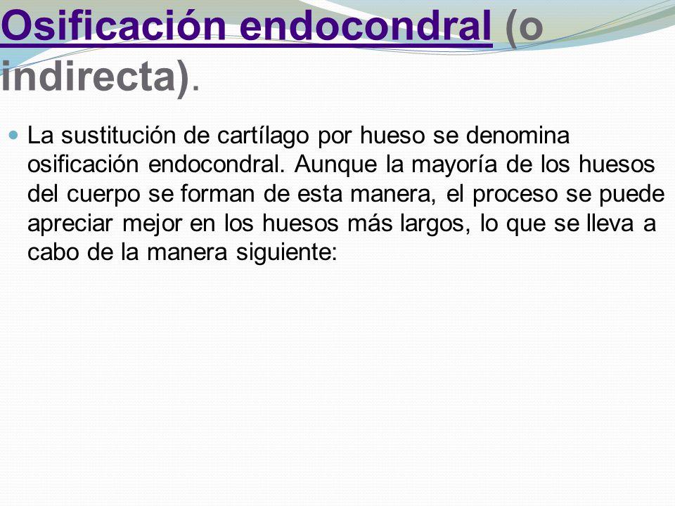 Osificación endocondral (o indirecta).