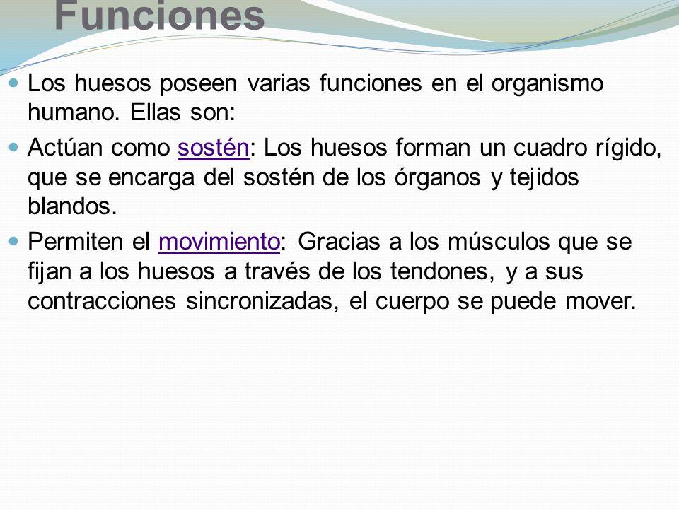 Funciones Los huesos poseen varias funciones en el organismo humano. Ellas son: