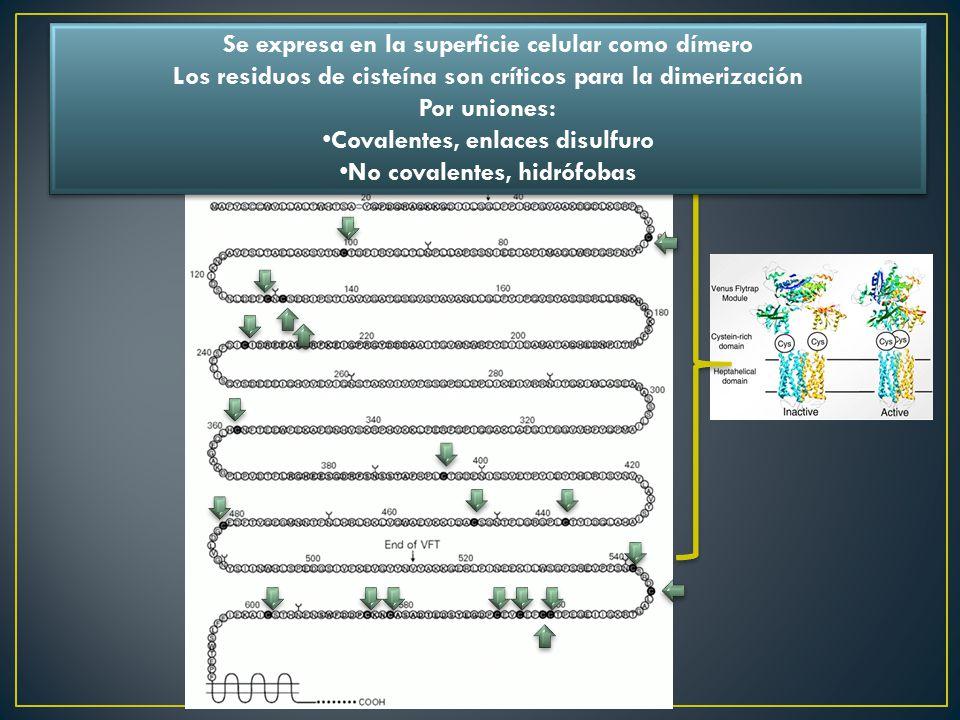 Se expresa en la superficie celular como dímero