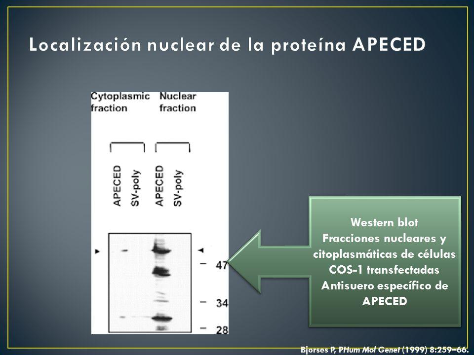 Localización nuclear de la proteína APECED