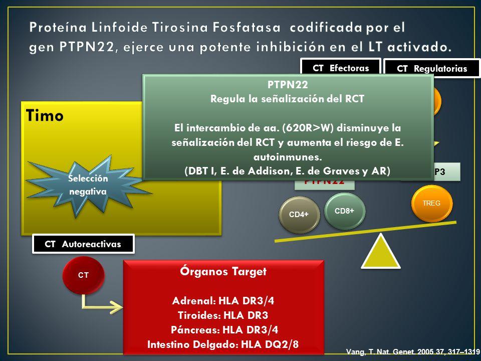 Proteína Linfoide Tirosina Fosfatasa codificada por el gen PTPN22, ejerce una potente inhibición en el LT activado.