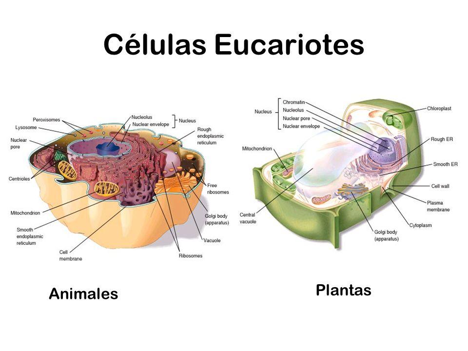 Células Eucariotes Plantas Animales