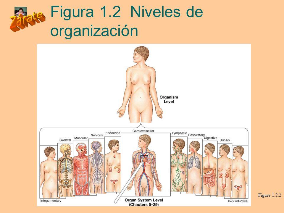 Figura 1.2 Niveles de organización