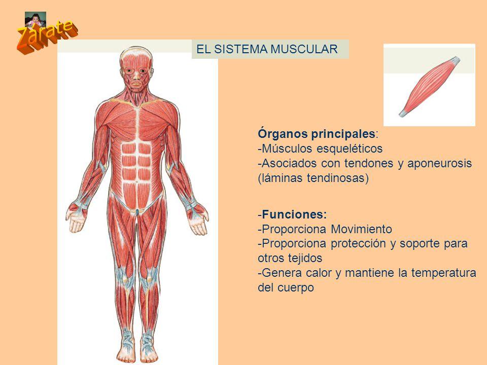 Increíble Función Principal Del Sistema Muscular Imagen - Anatomía ...
