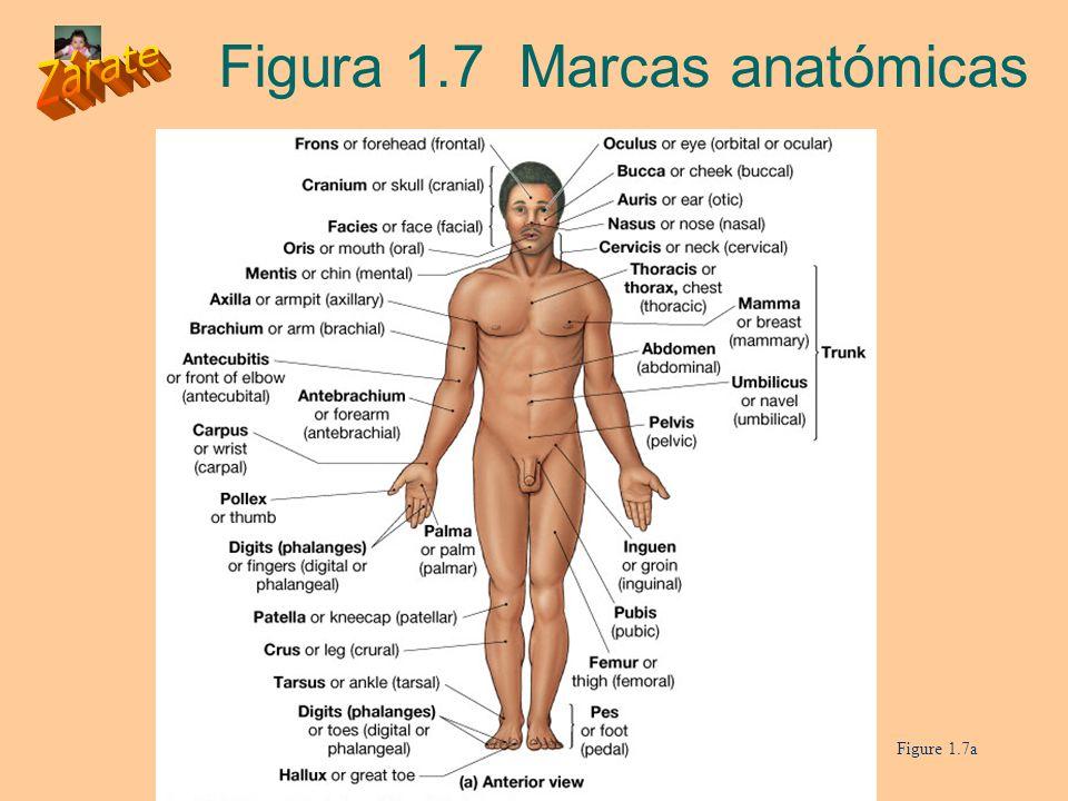 Figura 1.7 Marcas anatómicas