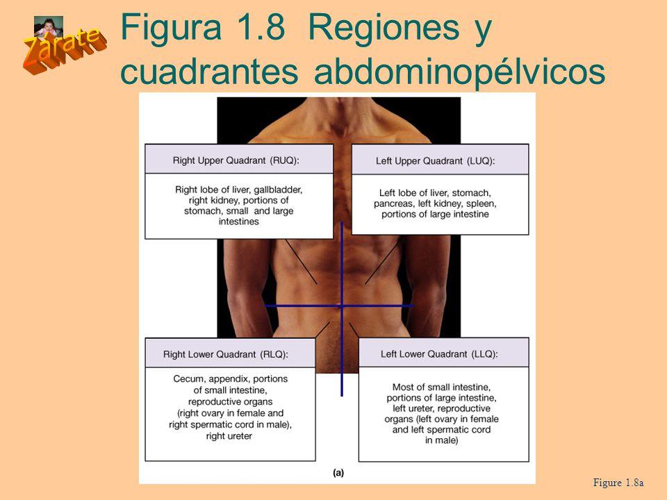 Figura 1.8 Regiones y cuadrantes abdominopélvicos