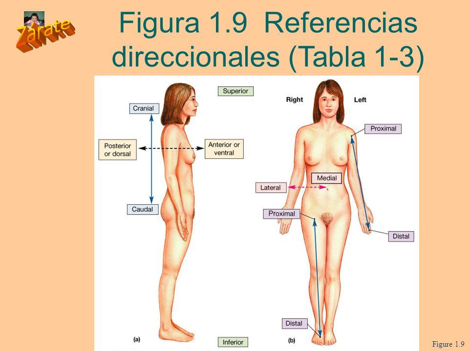 Excepcional Anatomía Práctica Términos Direccionales Festooning ...