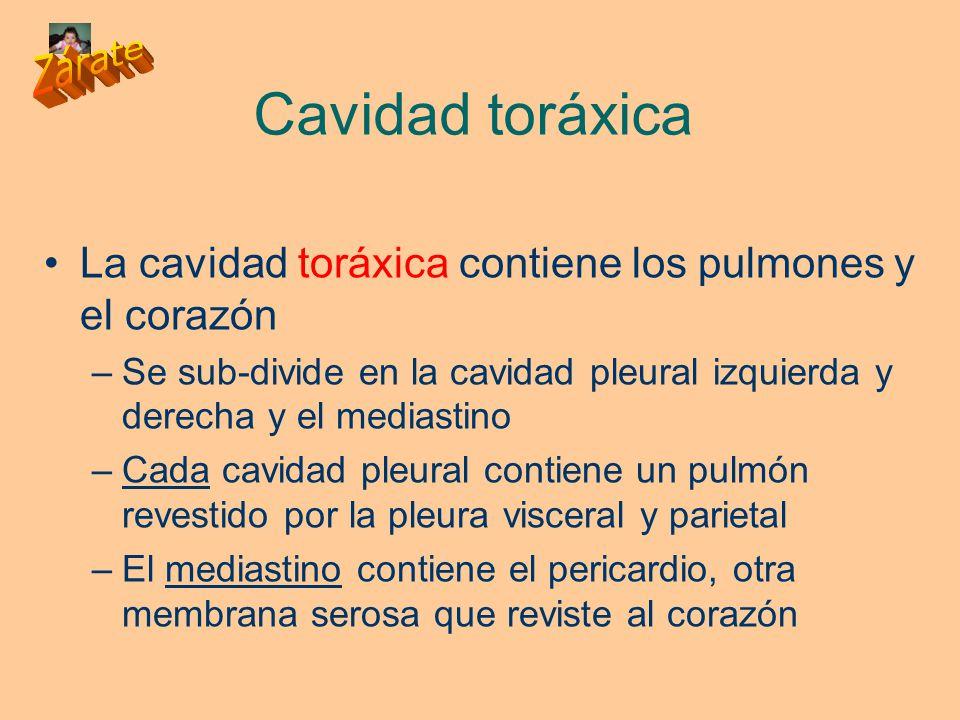 Cavidad toráxica La cavidad toráxica contiene los pulmones y el corazón. Se sub-divide en la cavidad pleural izquierda y derecha y el mediastino.