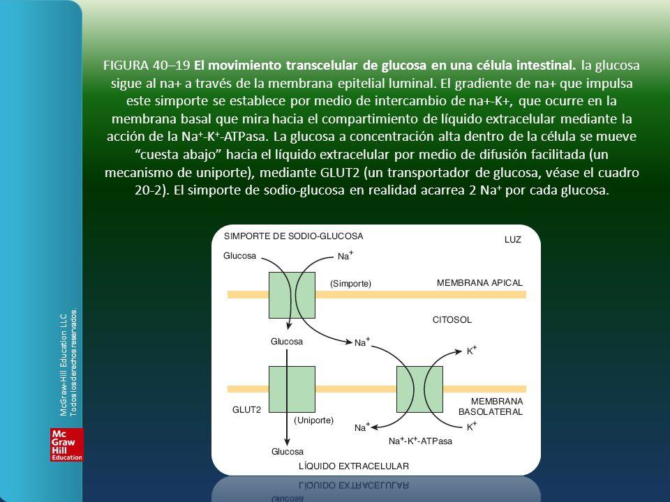 FIGURA 40–19 El movimiento transcelular de glucosa en una célula intestinal. la glucosa sigue al na+ a través de la membrana epitelial luminal. El gradiente de na+ que impulsa este simporte se establece por medio de intercambio de na+-K+, que ocurre en la membrana basal que mira hacia el compartimiento de líquido extracelular mediante la acción de la Na+-K+-ATPasa. La glucosa a concentración alta dentro de la célula se mueve cuesta abajo hacia el líquido extracelular por medio de difusión facilitada (un mecanismo de uniporte), mediante GLUT2 (un transportador de glucosa, véase el cuadro 20-2). El simporte de sodio-glucosa en realidad acarrea 2 Na+ por cada glucosa.