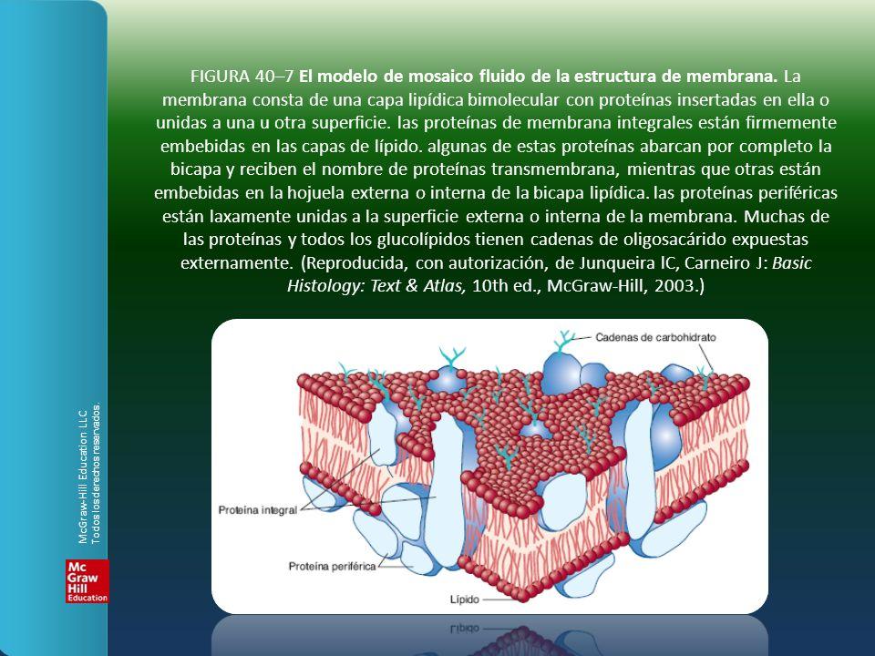 FIGURA 40–7 El modelo de mosaico fluido de la estructura de membrana
