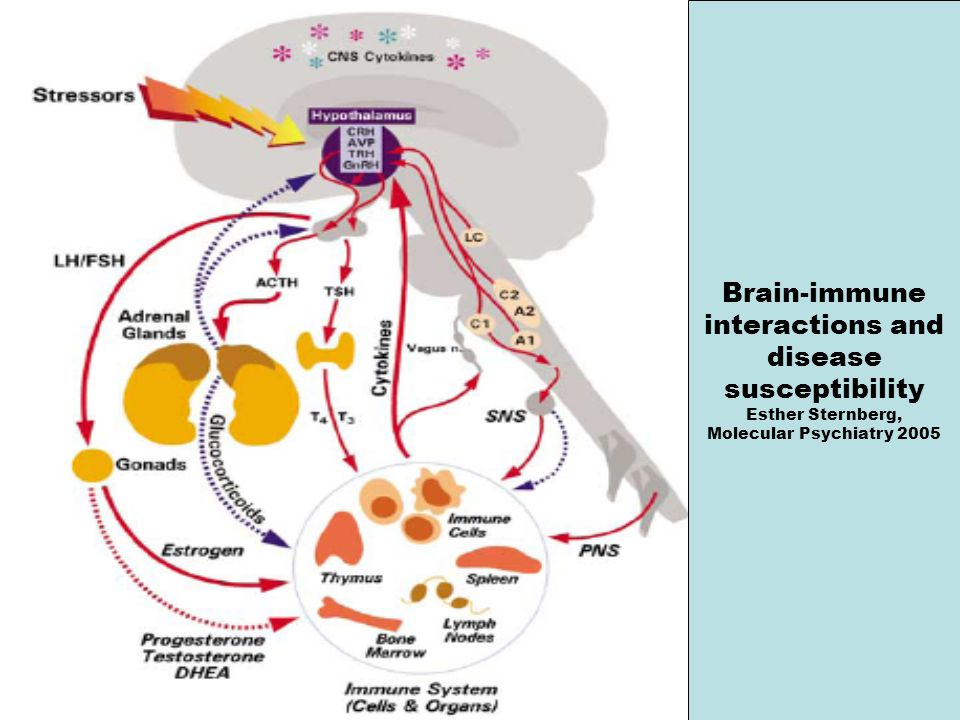 Brain-immune interactions and disease susceptibility Esther Sternberg,