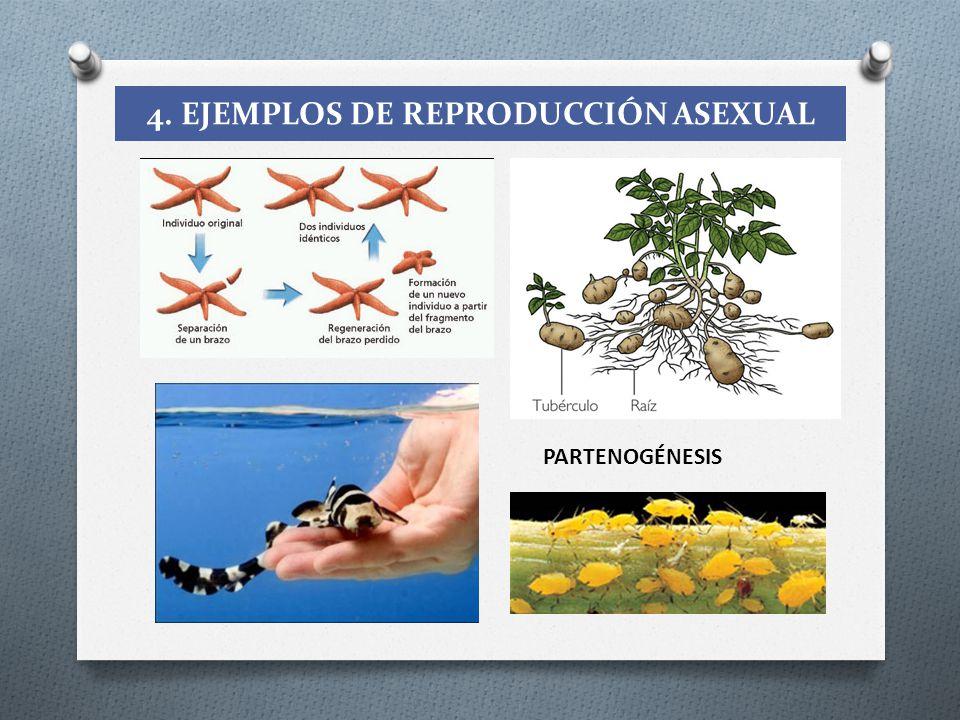 4. EJEMPLOS DE REPRODUCCIÓN ASEXUAL
