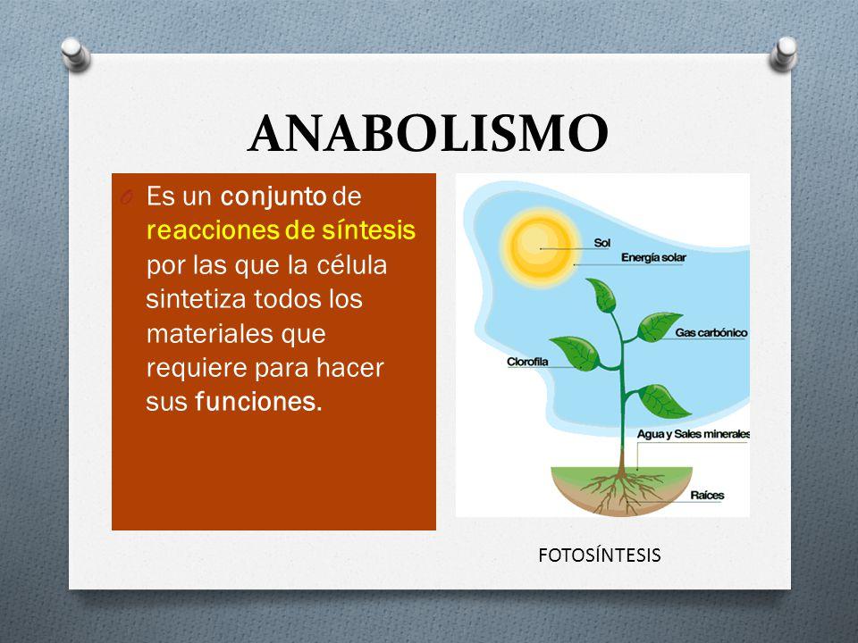 ANABOLISMO Es un conjunto de reacciones de síntesis por las que la célula sintetiza todos los materiales que requiere para hacer sus funciones.
