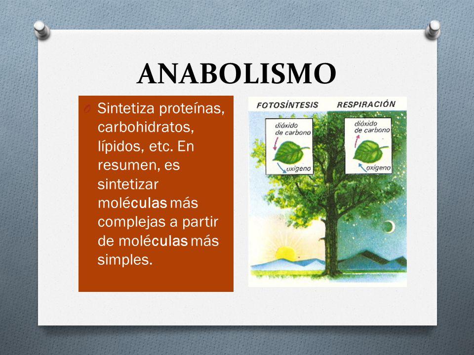 ANABOLISMO Sintetiza proteínas, carbohidratos, lípidos, etc.