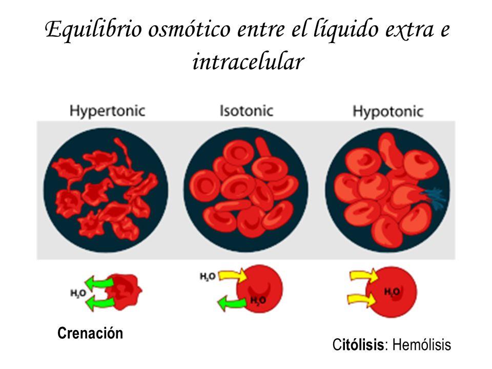 Equilibrio osmótico entre el líquido extra e intracelular