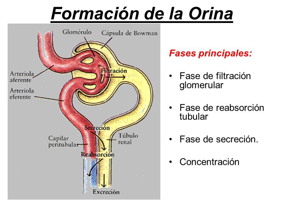 Formación de la Orina Fases principales: Fase de filtración glomerular