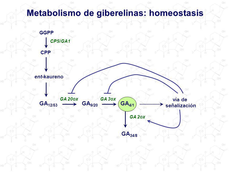 Metabolismo de giberelinas: homeostasis