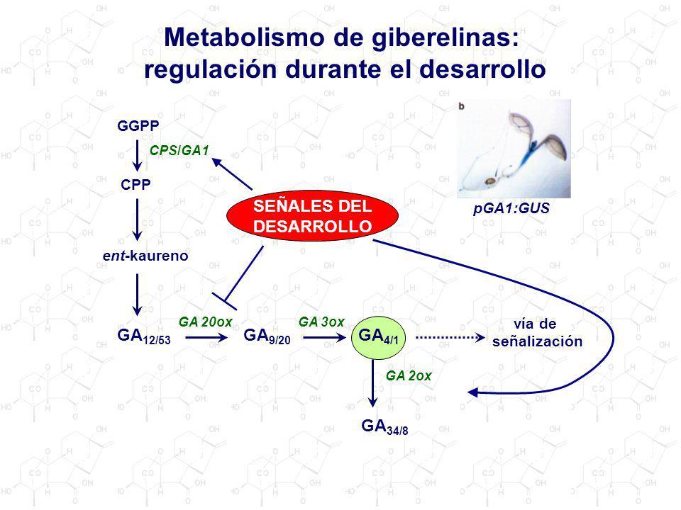 Metabolismo de giberelinas: regulación durante el desarrollo
