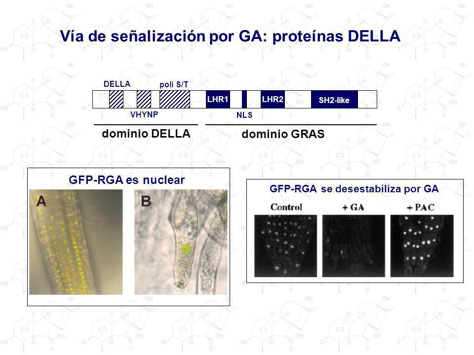 Vía de señalización por GA: proteínas DELLA