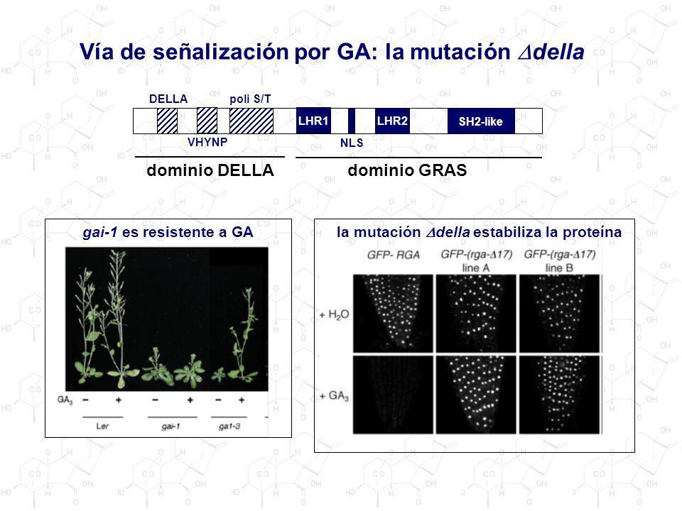 Vía de señalización por GA: la mutación Ddella