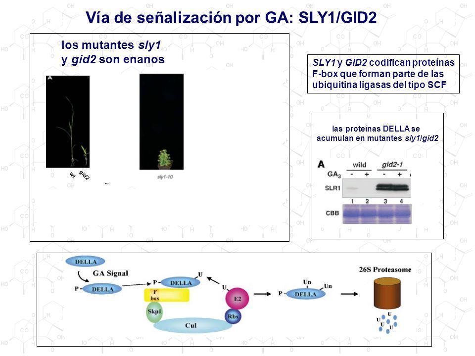 Vía de señalización por GA: SLY1/GID2