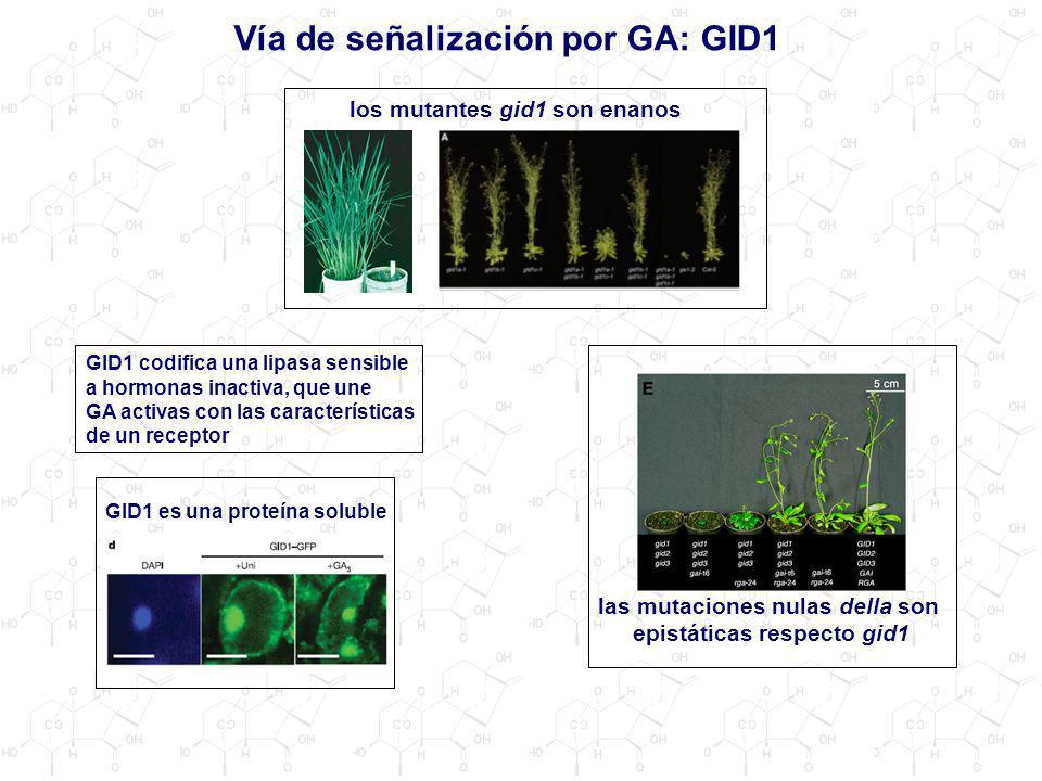 Vía de señalización por GA: GID1