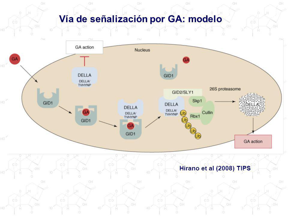 Vía de señalización por GA: modelo