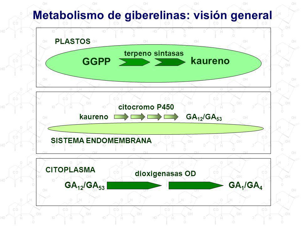 Metabolismo de giberelinas: visión general