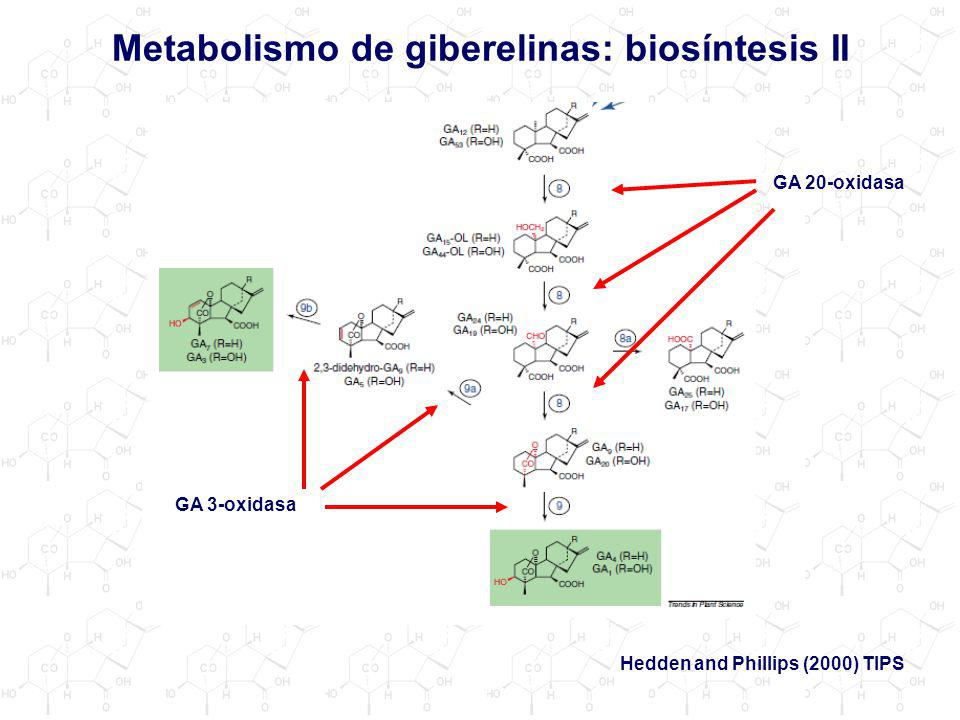 Metabolismo de giberelinas: biosíntesis II