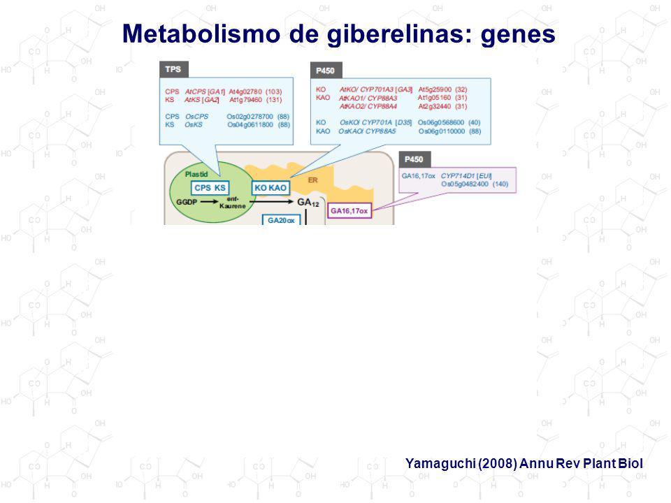 Metabolismo de giberelinas: genes