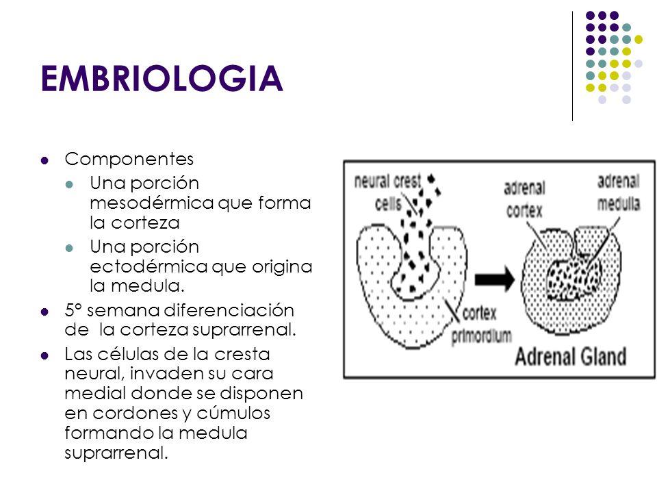 EMBRIOLOGIA Componentes Una porción mesodérmica que forma la corteza