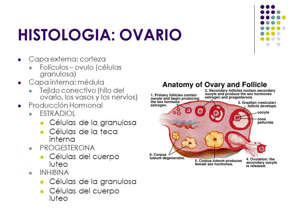 HISTOLOGIA: OVARIO Células de la granulosa Células de la teca interna