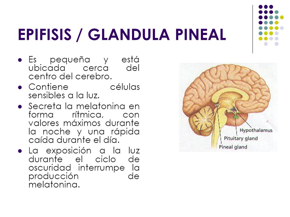 EPIFISIS / GLANDULA PINEAL