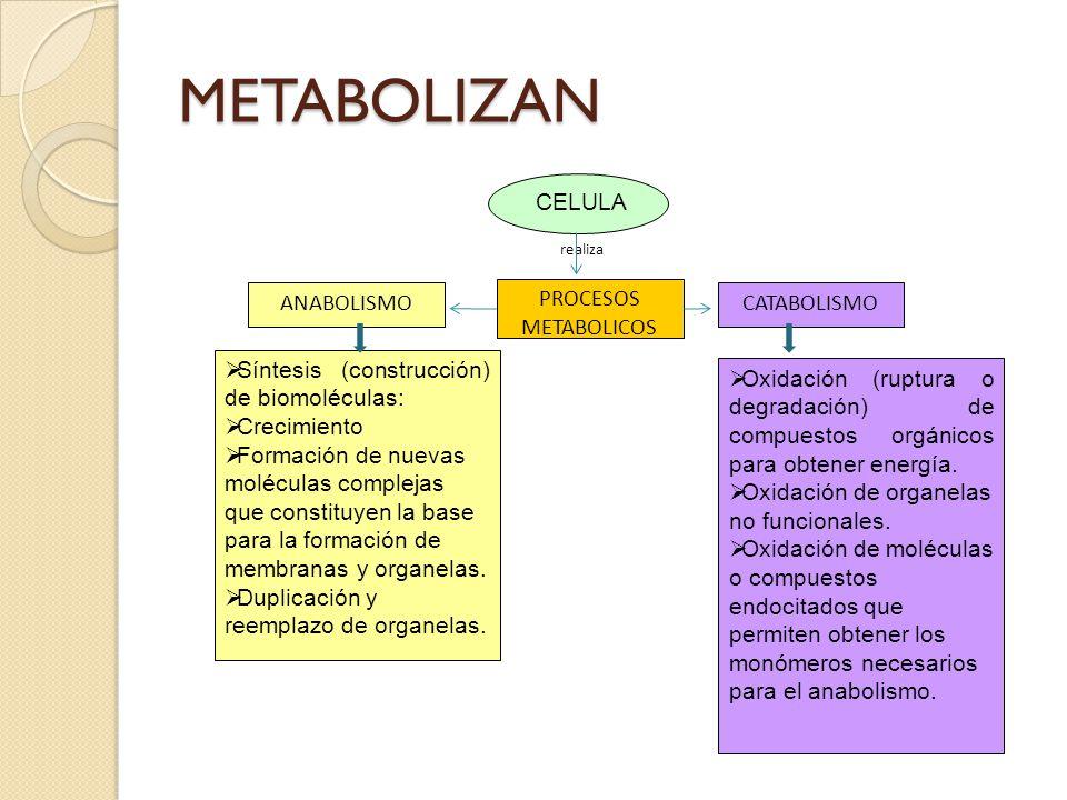 METABOLIZAN CELULA ANABOLISMO PROCESOS METABOLICOS CATABOLISMO
