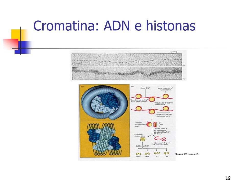 Cromatina: ADN e histonas