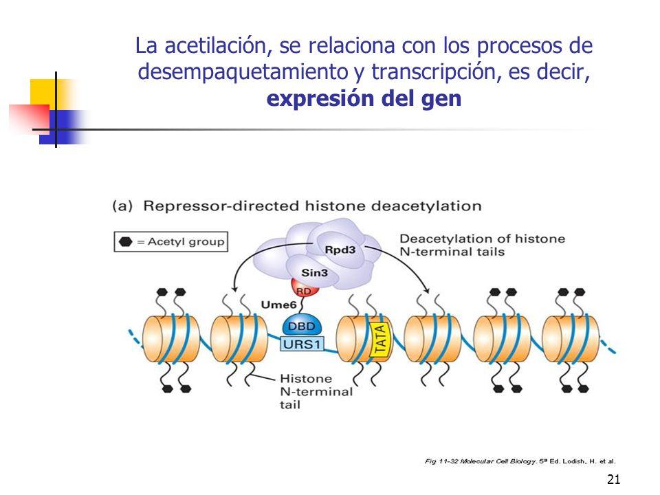 La acetilación, se relaciona con los procesos de desempaquetamiento y transcripción, es decir, expresión del gen