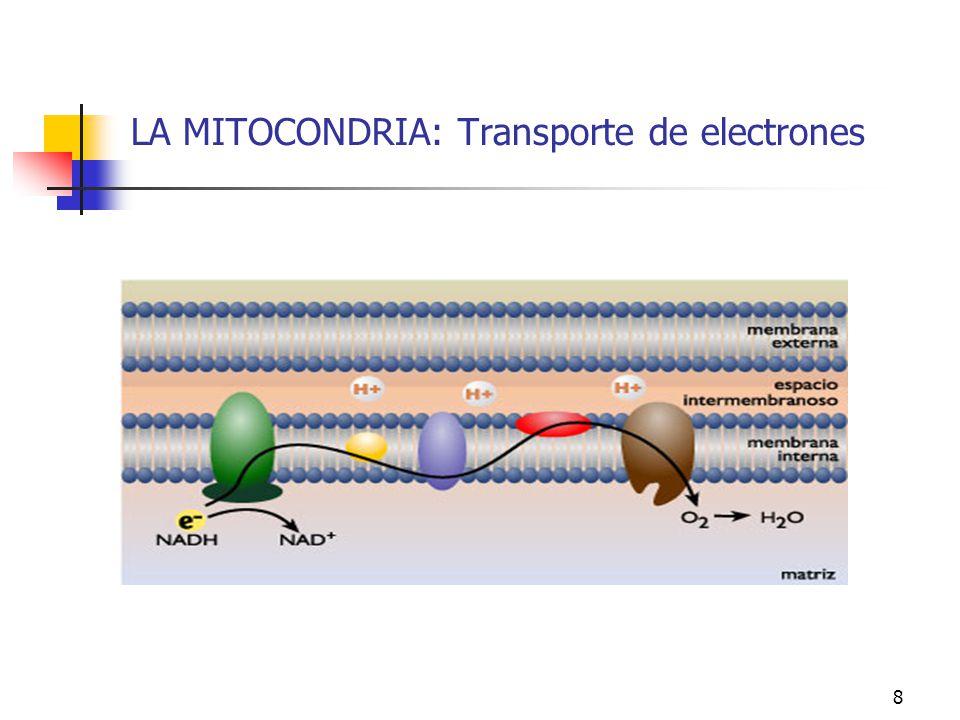 LA MITOCONDRIA: Transporte de electrones