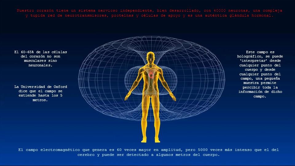 Nuestro corazón tiene un sistema nervioso independiente, bien desarrollado, con 40000 neuronas, una compleja y tupida red de neurotransmisores, proteínas y células de apoyo y es una auténtica glándula hormonal.