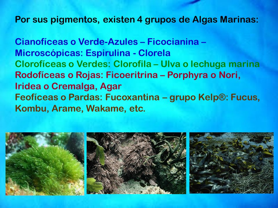 Por sus pigmentos, existen 4 grupos de Algas Marinas: