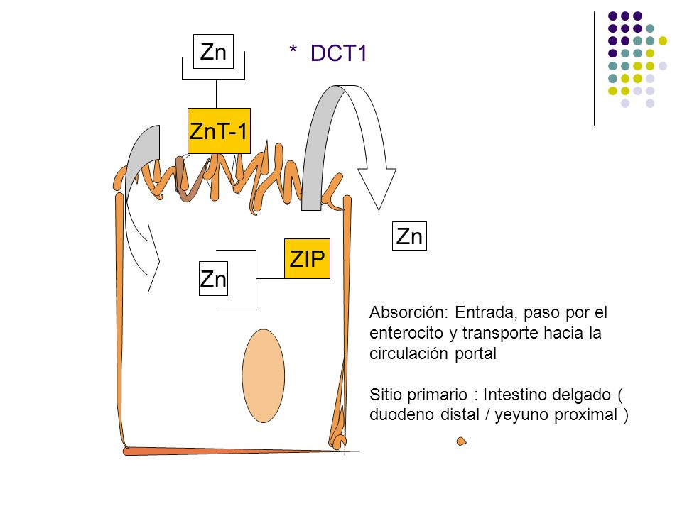 Zn * DCT1. ZnT-1. Zn. ZIP. Zn. Absorción: Entrada, paso por el enterocito y transporte hacia la circulación portal.