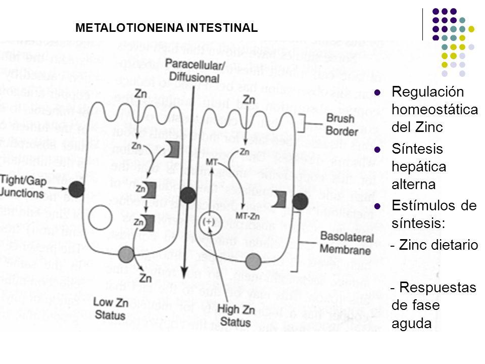 Regulación homeostática del Zinc