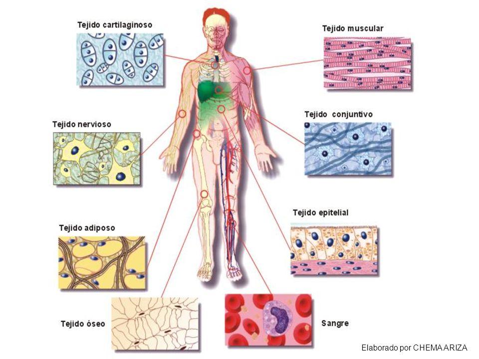 TEJIDOS ANIMALES Cigoto  céls. Totipotentes  cualquier tipo celular  TEJIDOS. Clasificación de los tejidos animales.