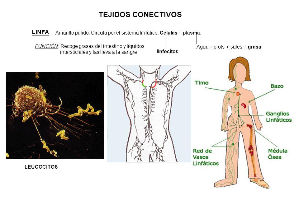 TEJIDOS CONECTIVOS LINFA