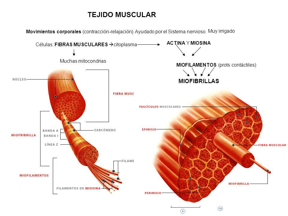 TEJIDO MUSCULAR MIOFIBRILLAS